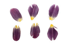 Pressed and dried delicate dark purple petals of tulip flowers. Stock Images