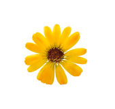 Pressed and dried delicate flower of calendula officinalis. Marigold. Isolated on white background. For use in scrapbooking, floristry oshibana or herbarium Royalty Free Stock Photos