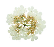 Pressed and dried delicate flower viburnum. Isolated on white background. For use in scrapbooking, pressed floristry (oshibana) or herbarium royalty free stock photos