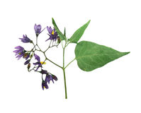 Pressed and dried delicate flower violet woody nightshade. (solanum dulcamara) on stem with green leaves. Isolated on white background. For use in scrapbooking Royalty Free Stock Images