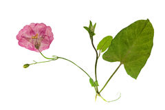Pressed and dried delicate flowers of bindweed. Isolated Royalty Free Stock Photography