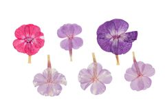 Pressed and dried delicate flowers phlox, isolated on white. Set of pressed and dried flowers blue, pink phlox, isolated on white background. For use in stock photos