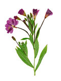 Pressed and dried delicate lilac flowers fireweed Stock Image