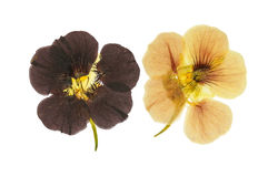 Pressed and dried delicate orange and brown flowers. Nasturtium tropaeolum. Isolated on white background. For use in scrapbooking, floristry oshibana or Royalty Free Stock Images