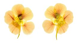 Pressed and dried flowers nasturtium tropaeolum. Isolated on w. Pressed and dried delicate orange flowers nasturtium tropaeolum. Isolated on white background royalty free stock images