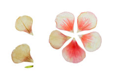 Pressed and dried delicate petals of geranium. Pressed and dried delicate pink petals of geranium (pelargonium). Isolated on white background. For use in Royalty Free Stock Photo