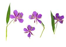 Pressed and dried delicate purple flowers willow-herb epilobium Stock Image