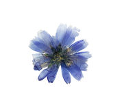 Pressed and dried delicate transparent blue flowers chicory. Or cichorium. Isolated on white background. For use in scrapbooking, floristry (oshibana) or stock photography