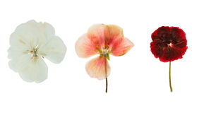 Pressed and dried delicate transparent flowers geranium. (pelargonium). Isolated on white background. For use in scrapbooking, floristry (oshibana) or herbarium Stock Images