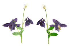 Pressed and Dried flower  Aquilegia vulgaris. Isolated on white Stock Photo