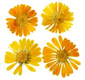 Pressed and dried flower of calendula officinalis marigold. Isolated. Pressed and dried delicate flower of calendula officinalis marigold. Isolated on white vector illustration