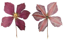 Pressed and Dried flower clematis Royalty Free Stock Photo