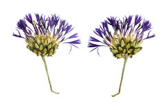 Pressed and Dried flower  Cornflower. Isolated on white backgrou Royalty Free Stock Photo
