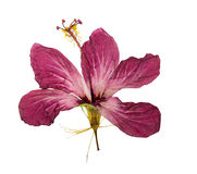 Pressed and dried flower hibiscus isolated stock images