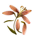Pressed and dried flower lily martagon lilium martagon, isolat Stock Photography