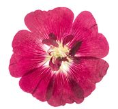 Pressed and dried flower mallow malva, isolated on white. Background. For use in scrapbooking, floristry or herbarium Royalty Free Stock Photography