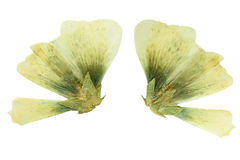 Pressed and dried flower  mallow (malva). Stock Photography