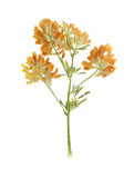Pressed and Dried flower  red clover or trifolium pratense Stock Photos