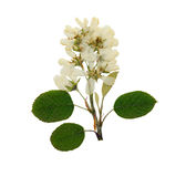 Pressed and dried flower sorbus aria. Isolated Royalty Free Stock Photo