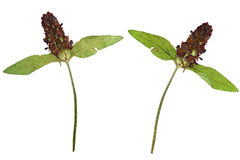 Pressed and dried flower on a stalk Prunella vulgaris. Royalty Free Stock Photography
