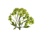 Pressed and dried flower  tree maple. Isolated Stock Image