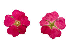 Pressed and Dried flower wild rose. Isolated on white background Stock Photos