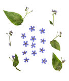 Pressed and dried flowers  brunnera macrophylla. Isolated Royalty Free Stock Photo
