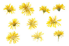Pressed and dried flowers crepis tectorum isolated Royalty Free Stock Images