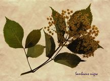 Pressed and dried flowers of European elder. Herbarium from pressed and dried flower of European elder on antique brown craft paper with Latin subscript Sambucus Royalty Free Stock Photo