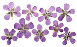 Pressed and dried flowers geranium pratense, isolated on white. Background. For use in scrapbooking, floristry or herbarium stock images