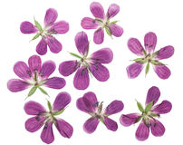 Pressed and dried flowers  geranium pratense. Isolated Royalty Free Stock Photos