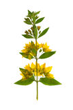 Pressed and dried flowers of loosestrife meadow. Isolated. Pressed and dried flowers of loosestrife meadow or tea with green leaves on creeping stem. Isolated on Stock Photos