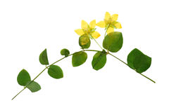 Pressed and dried flowers of loosestrife meadow. Or tea with green leaves on creeping stem. Isolated on white background. For use in scrapbooking, floristry ( Stock Photo