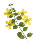 Pressed and dried flowers of loosestrife meadow. Or tea with green leaves on creeping stem. Isolated on white background. For use in scrapbooking, floristry Royalty Free Stock Photography