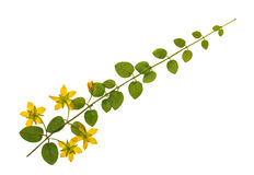 Pressed and dried flowers of loosestrife. Meadow or tea with green leaves on creeping stem. Isolated on white background. For use in scrapbooking, floristry Royalty Free Stock Photography