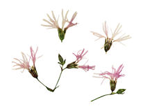 Pressed and dried flowers ragged robin Royalty Free Stock Photos
