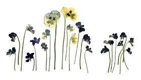 Pressed Dried Herbarium of Pansies Viola Tricolor Isolated on White Background. Pressed Dried Herbarium of Flowers Pansies, Viola Tricolor, Violet Tricolor royalty free illustration