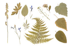 Pressed Dried Herbarium of Various Plants. On White Background stock photo