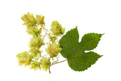 Pressed and dried hop flowers with green leaves. Isolated Royalty Free Stock Photo