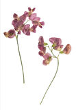 Pressed and dried lathyrus vernus. Isolated Royalty Free Stock Photography