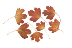 Pressed and dried leaf golden currant or ribes aureum Stock Images