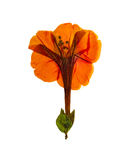 Pressed and dried  orange flowers mirabilis jalapa. Isolated Royalty Free Stock Photography