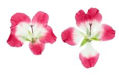 Pressed and dried pink delicate transparent flowers geranium. Pelargonium, isolated on white background. For use in scrapbooking, floristry or herbarium royalty free stock photo