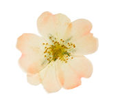 Pressed and dried pink flower wild rose. Isolated. Pressed and dried pink delicate transparent flower wild rose. Isolated on white background. For use in royalty free stock photo