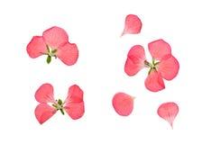 Pressed and dried pink flowers geranium, pelargonium. Pressed and dried delicate pink flowers and petals of geranium (pelargonium). Isolated on white background stock photo