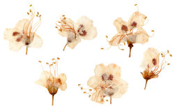 Pressed and dried plum flowers. Isolated on white background Royalty Free Stock Photos