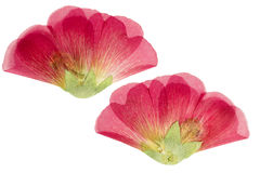 Pressed and dried scarlet flower mallow. (malva). on white background. For use in scrapbooking, floristry (oshibana) or herbarium Stock Images