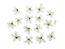 Pressed and dried set delicate flower oxalis. Isolated Stock Photos
