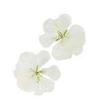 Pressed and dried white flowers geranium pelargonium, isolated. On white background. For use in scrapbooking, floristry oshibana or herbarium royalty free stock photography