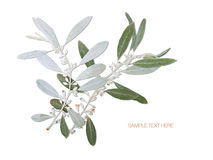 Pressed and dried wild olive branch background. Pressed and dried flower olive branch isolated on white blue background. For use in scrapbooking floristry or Stock Photography